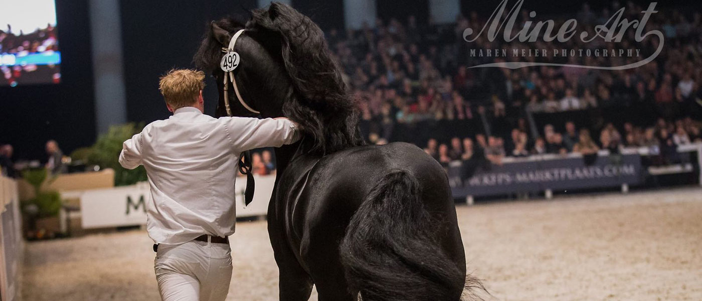 The friesian horse in New Zealand